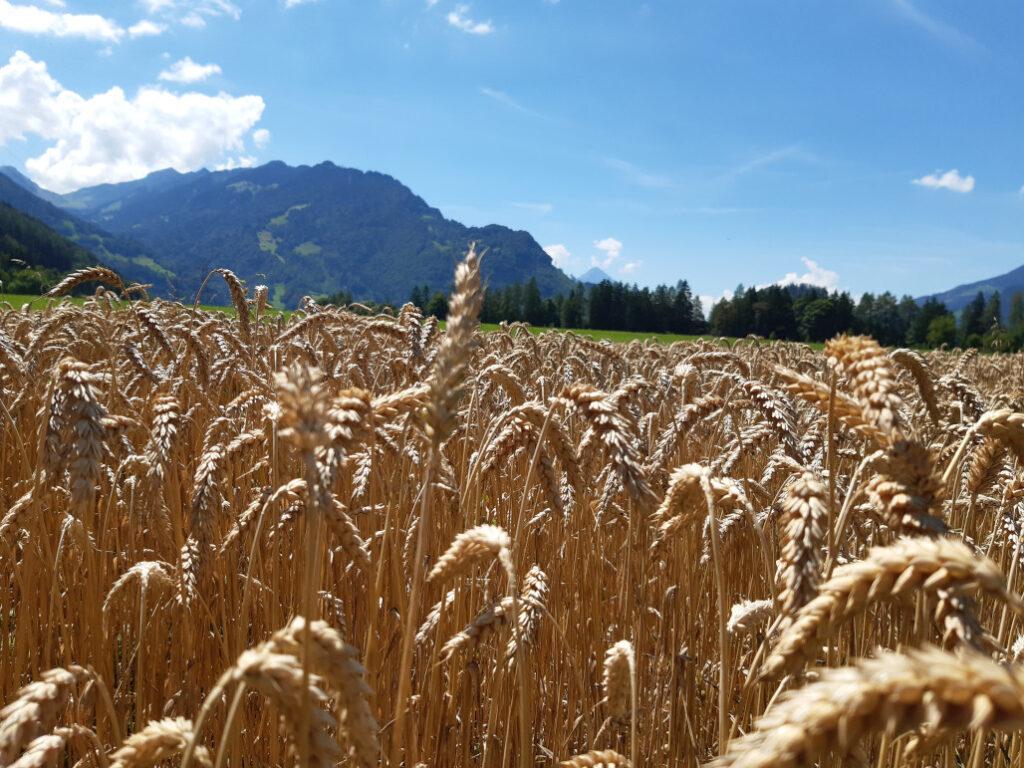 Getreide vom Acherhubel